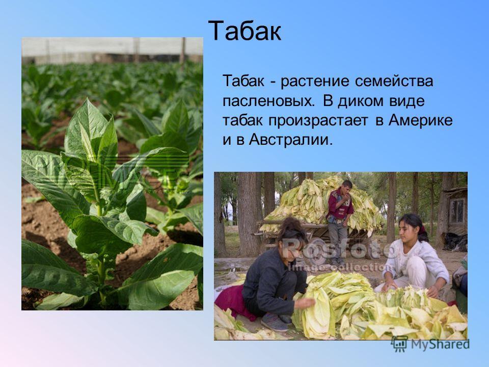 Табак Табак - растение семейства пасленовых. В диком виде табак произрастает в Америке и в Австралии.