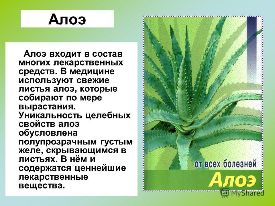 Алоэ Алоэ входит в состав многих лекарственных средств. В медицине используют свежие листья алоэ, которые собирают по мере вырастания. Уникальность целебных свойств алоэ обусловлена полупрозрачным густым желе, скрывающимся в листьях. В нём и содержат