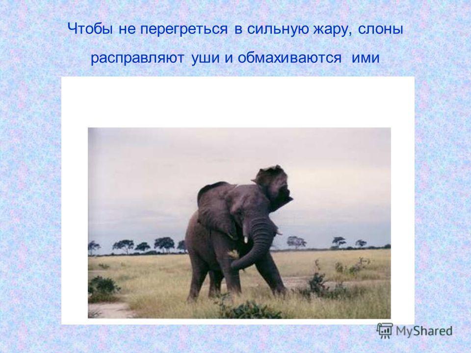 Чтобы не перегреться в сильную жару, слоны расправляют уши и обмахиваются ими