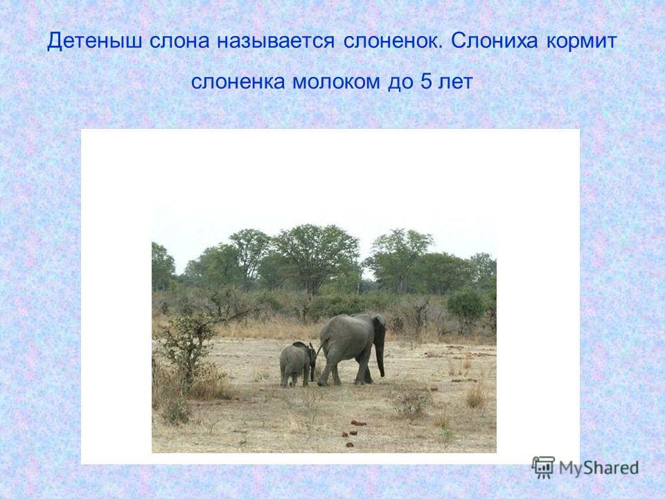 Детеныш слона называется слоненок. Слониха кормит слоненка молоком до 5 лет