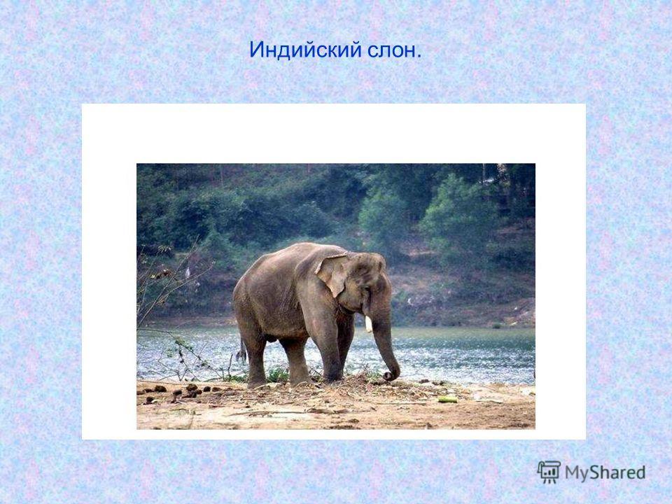 Индийский слон.