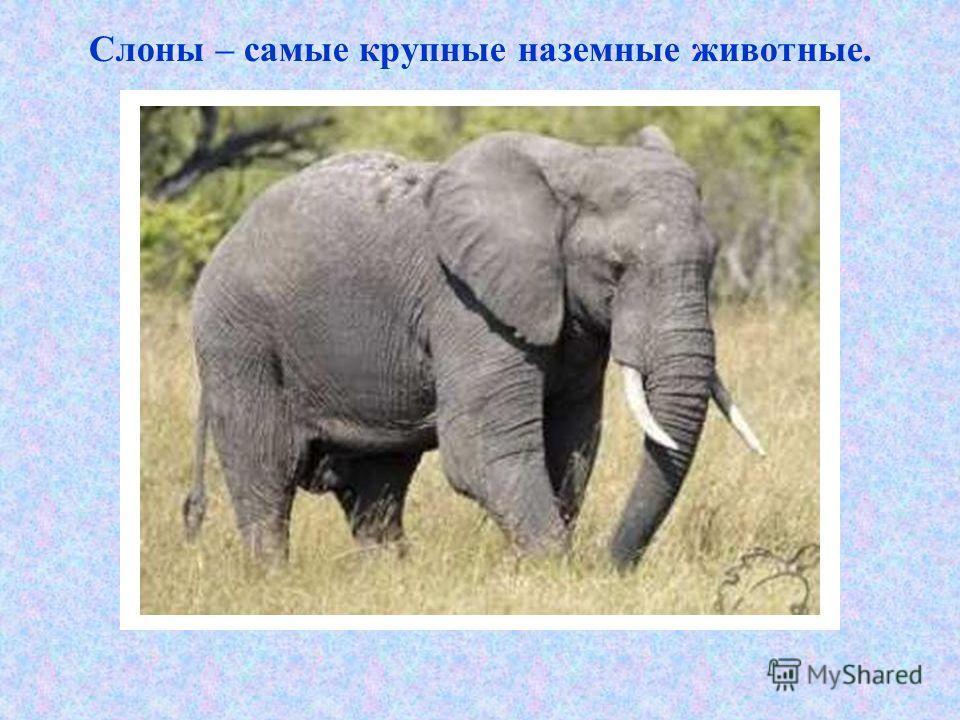 Слоны – самые крупные наземные животные.