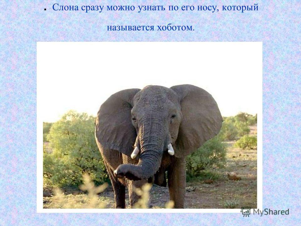 . Слона сразу можно узнать по его носу, который называется хоботом.