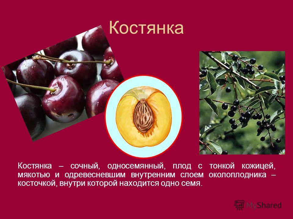 Костянка Костянка – сочный, односемянный, плод с тонкой кожицей, мякотью и одревесневшим внутренним слоем околоплодника – косточкой, внутри которой находится одно семя.