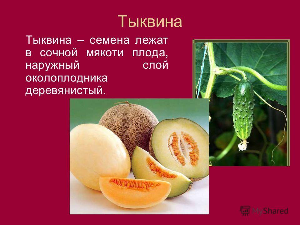 Тыквина Тыквина – семена лежат в сочной мякоти плода, наружный слой околоплодника деревянистый.