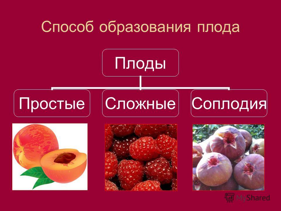 Способ образования плода Плоды ПростыеСложныеСоплодия