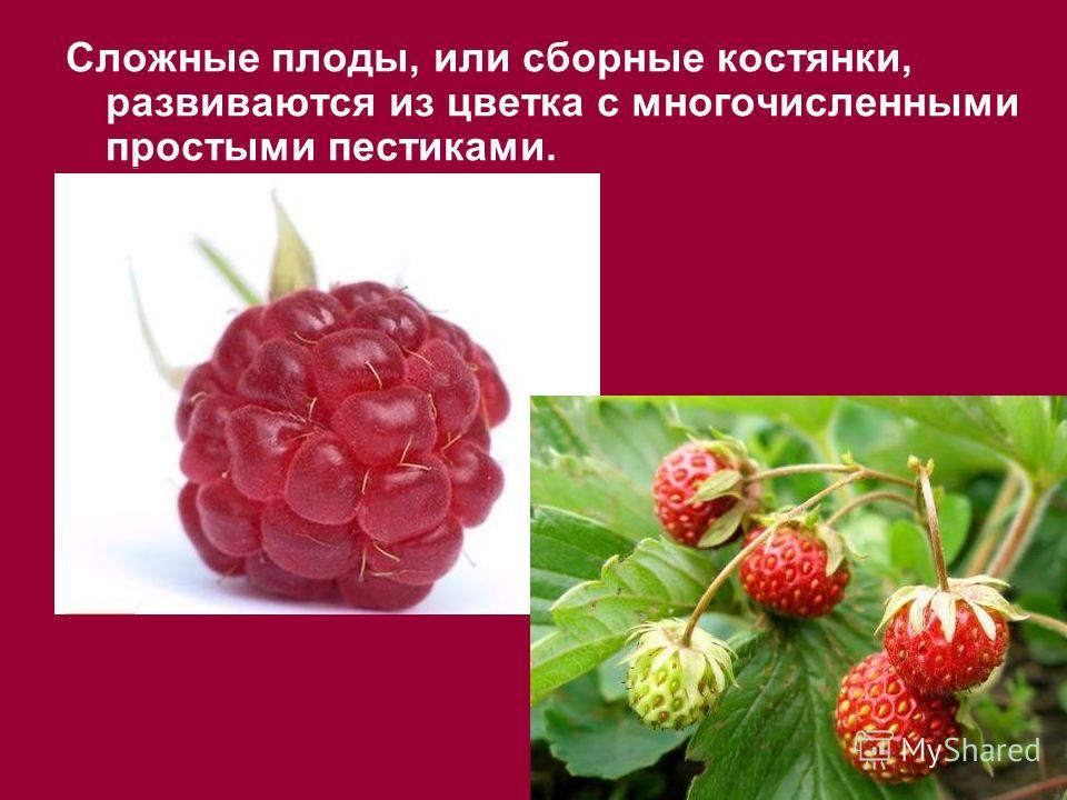 Сложные плоды, или сборные костянки, развиваются из цветка с многочисленными простыми пестиками.