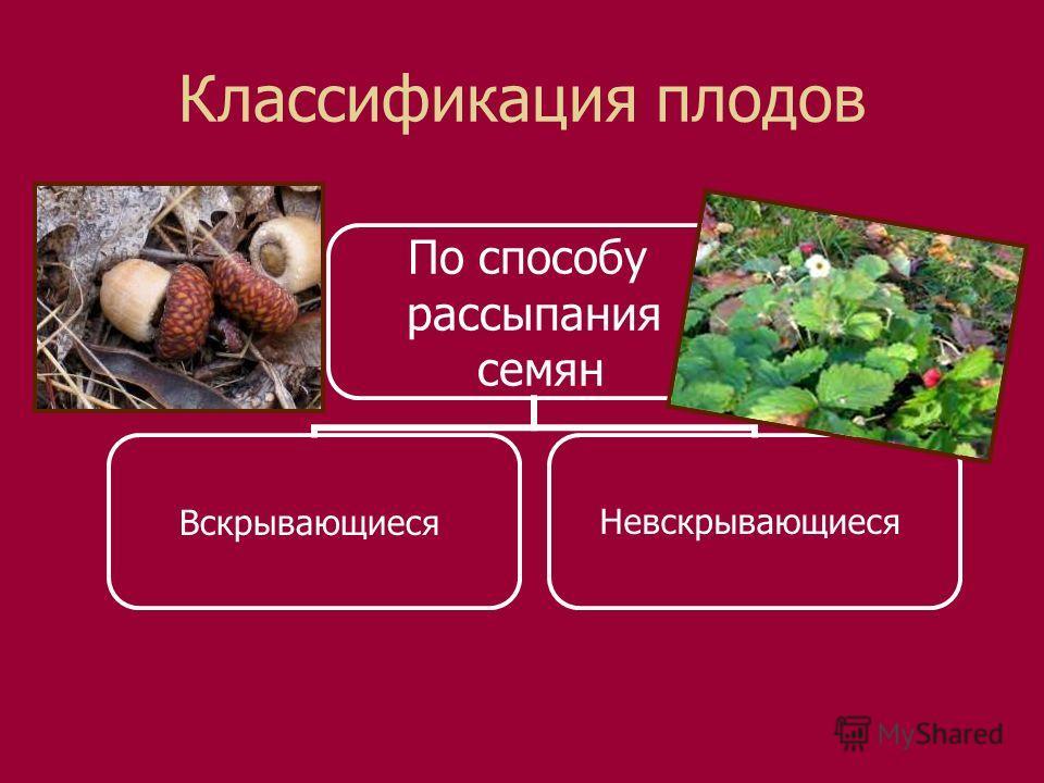 Классификация плодов По способу рассыпания семян ВскрывающиесяНевскрывающиеся