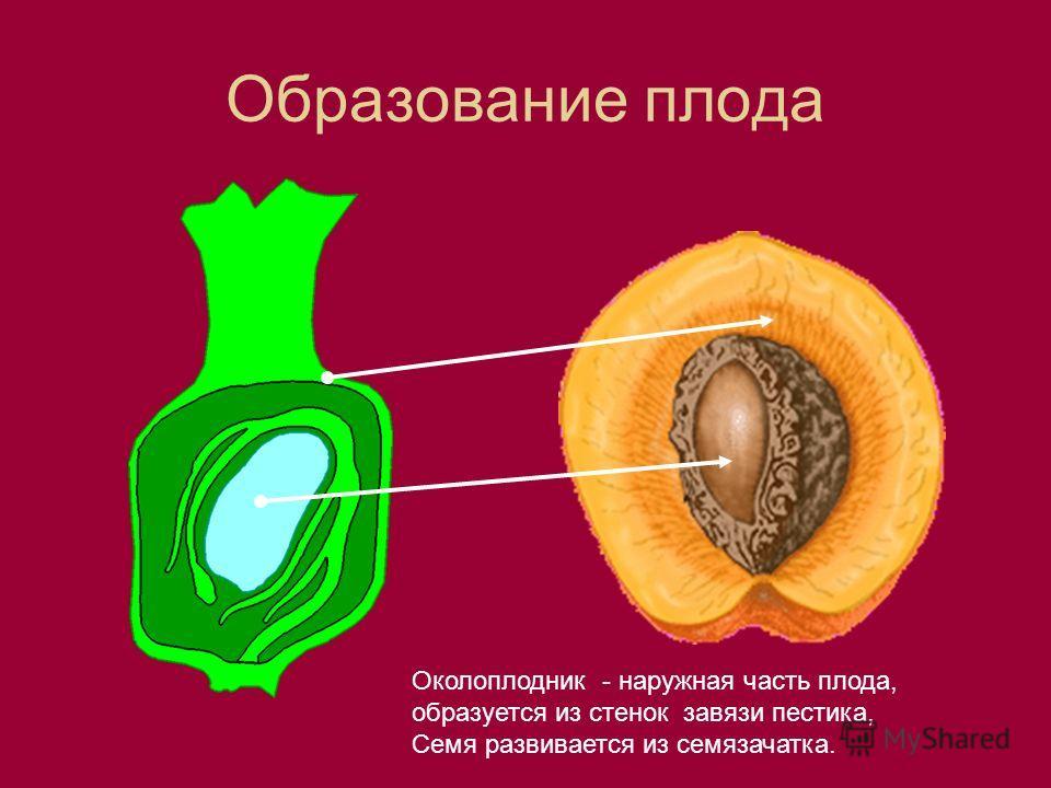Образование плода Околоплодник - наружная часть плода, образуется из стенок завязи пестика, Семя развивается из семязачатка.