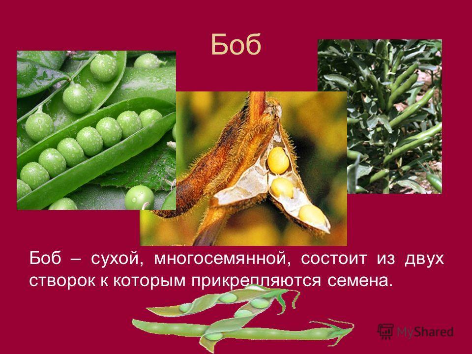 Боб Боб – сухой, многосемянной, состоит из двух створок к которым прикрепляются семена.