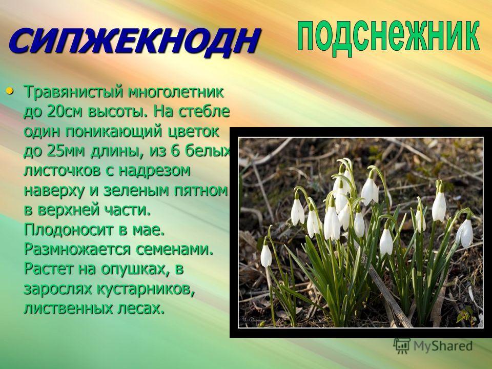 СИПЖЕКНОДН Травянистый многолетник до 20см высоты. На стебле один поникающий цветок до 25мм длины, из 6 белых листочков с надрезом наверху и зеленым пятном в верхней части. Плодоносит в мае. Размножается семенами. Растет на опушках, в зарослях кустар