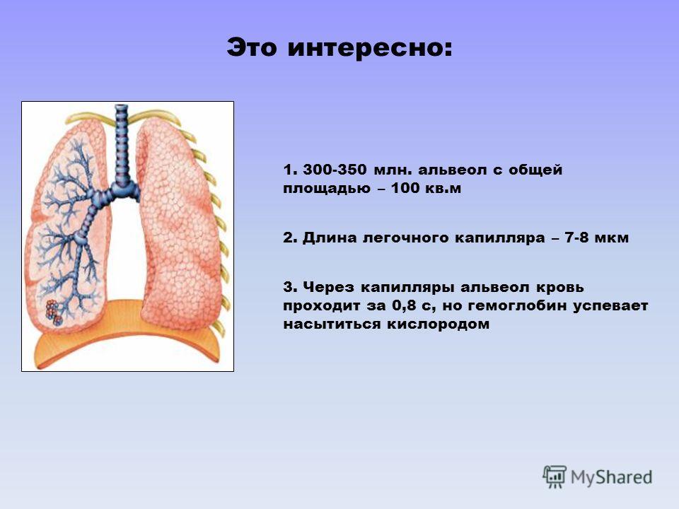1. 300-350 млн. альвеол с общей площадью – 100 кв.м 2. Длина легочного капилляра – 7-8 мкм 3. Через капилляры альвеол кровь проходит за 0,8 с, но гемоглобин успевает насытиться кислородом Это интересно: