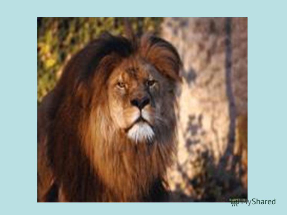 Он зубаст, с косматой гривой. Царь зверей – такой красивый