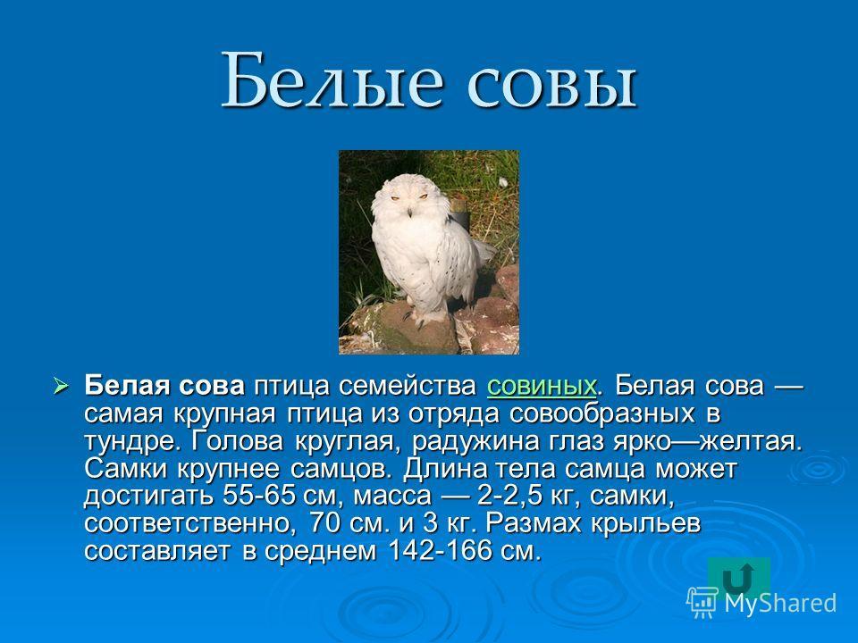 Белые совы Белая сова птица семейства совиных. Белая сова самая крупная птица из отряда совообразных в тундре. Голова круглая, радужина глаз яркожелтая. Самки крупнее самцов. Длина тела самца может достигать 55-65 см, масса 2-2,5 кг, самки, соответст