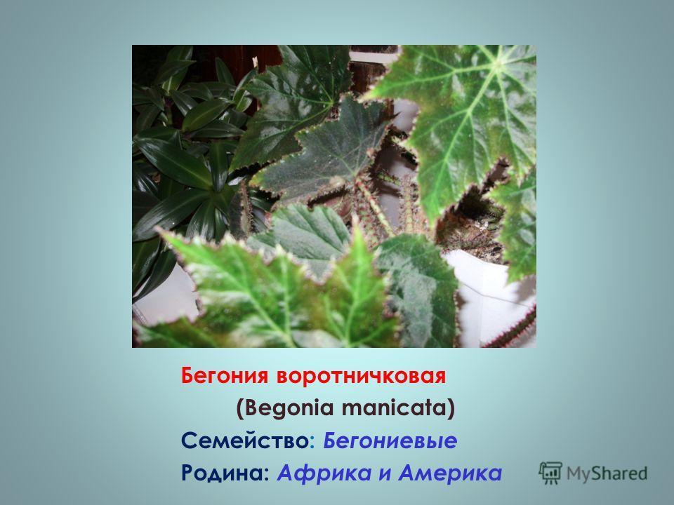 Бегония воротничковая (Begonia manicata) Семейство: Бегониевые Родина: Африка и Америка