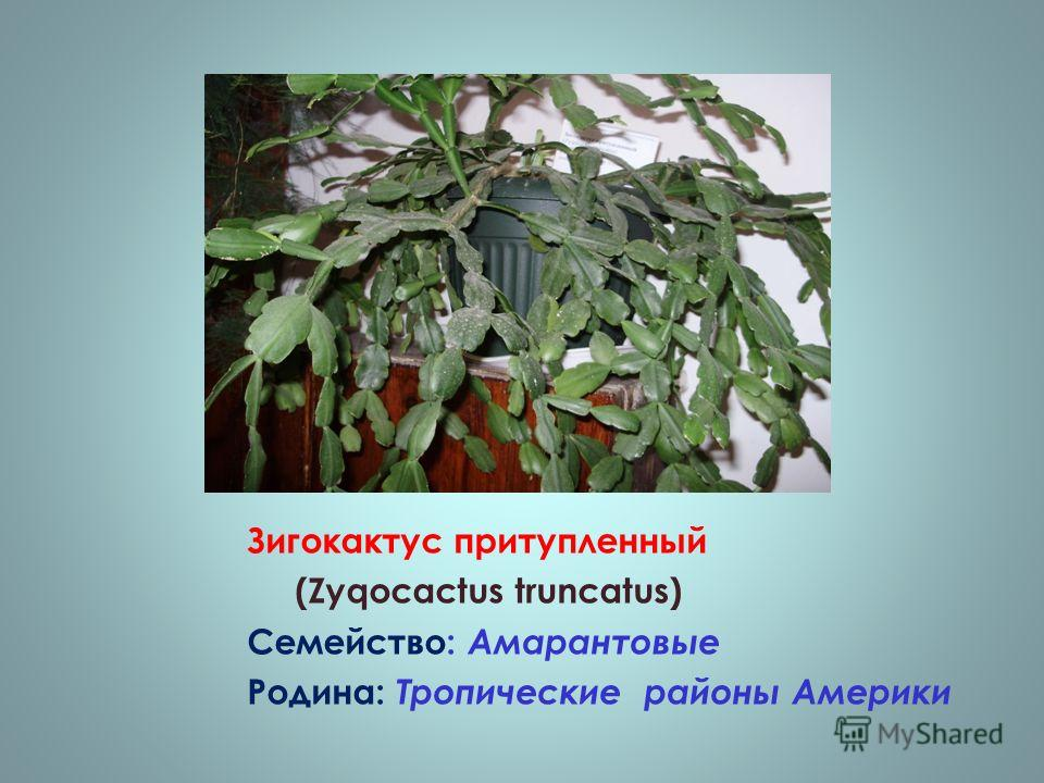 Зигокактус притупленный (Zyqocactus truncatus) Семейство: Амарантовые Родина: Тропические районы Америки