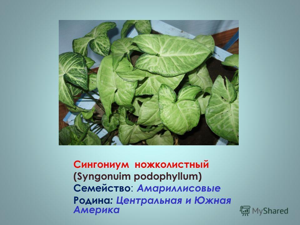 Сингониум ножколистный (Syngonuim podophyllum) Семейство : Амариллисовые Родина : Центральная и Южная Америка