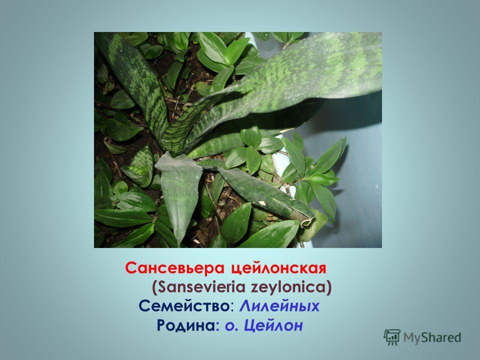 Сансевьера цейлонская (Sansevieria zeylonica) Семейство : Лилейных Родина: о. Цейлон