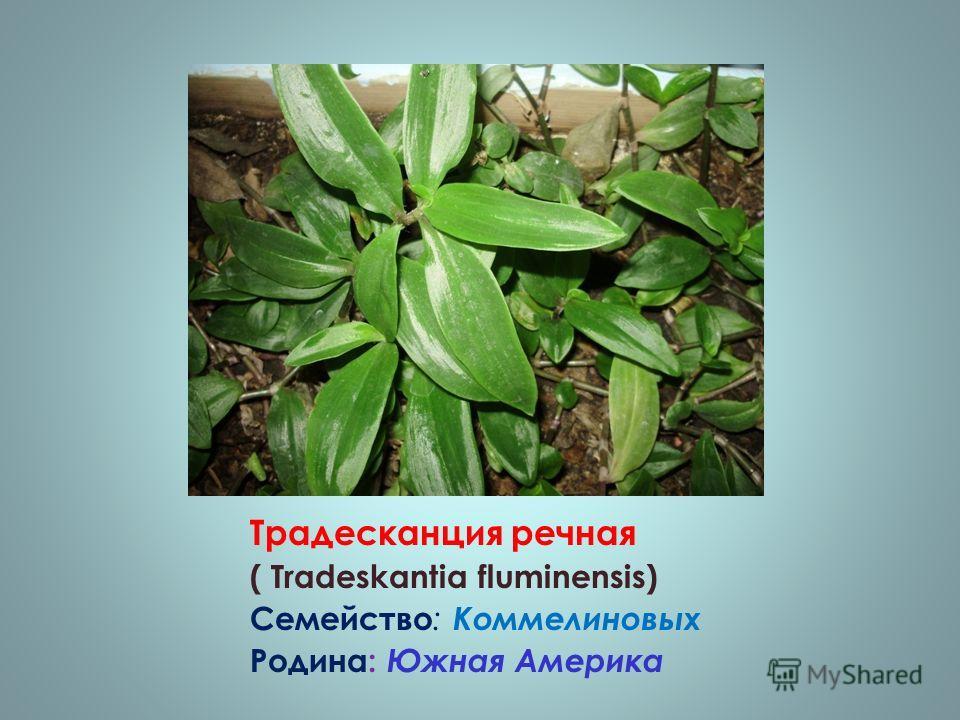 Традесканция речная ( Tradeskantia fluminensis) Семейство : Коммелиновых Родина: Южная Америка