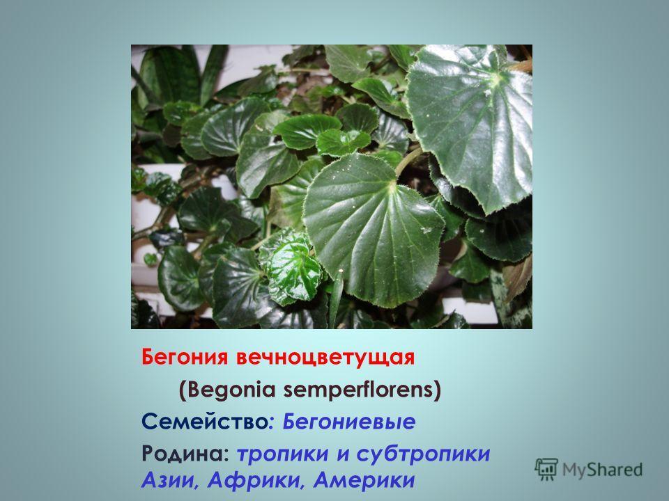 Бегония вечноцветущая (Begonia semperflorens) Семейство : Бегониевые Родина: тропики и субтропики Азии, Африки, Америки