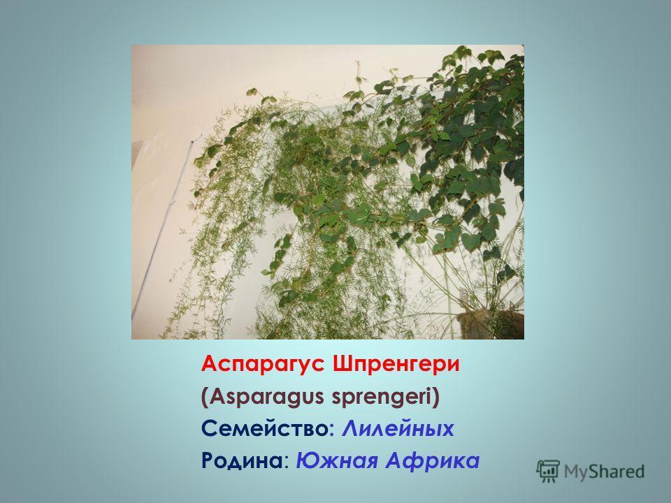 Аспарагус Шпренгери (Asparagus sprengeri) Семейство: Лилейных Родина : Южная Африка