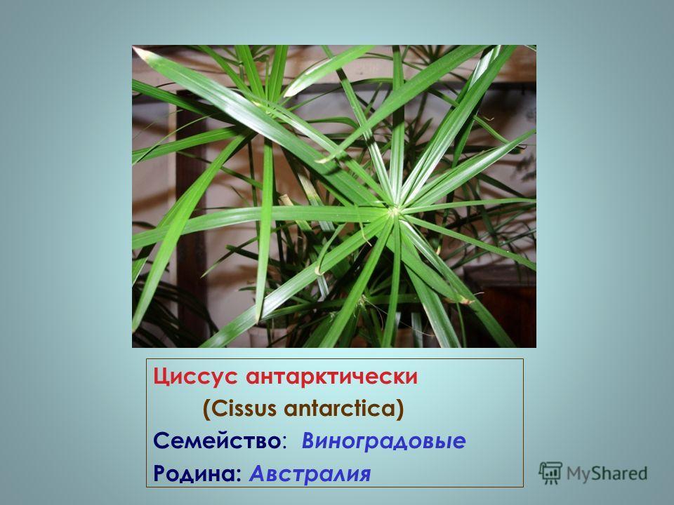 Циссус антарктически (Cissus antarctica) Семейство : Виноградовые Родина: Австралия