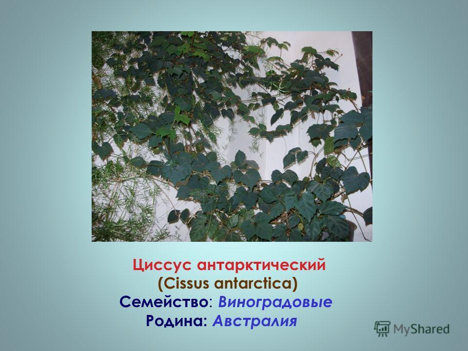 Циссус антарктический (Cissus antarctica) Семейство : Виноградовые Родина: Австралия
