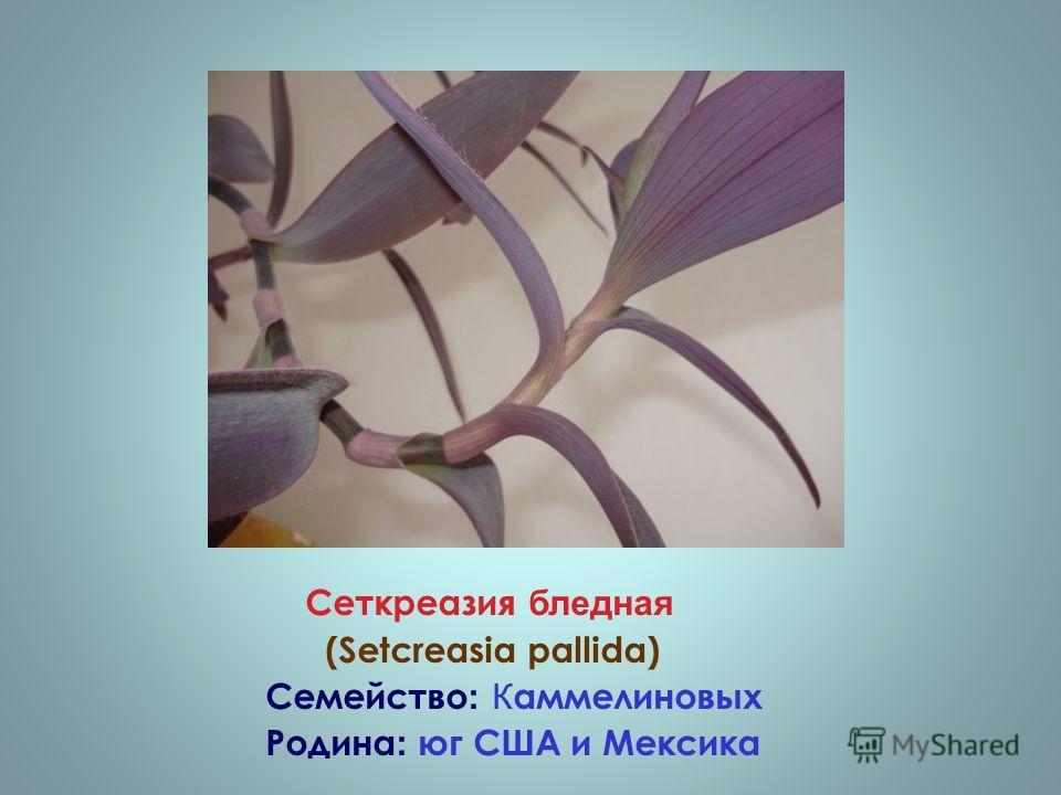 Сеткреазия бледная (Setcreasia pallida) Семейство : К аммелиновых Родина : юг США и Мексика