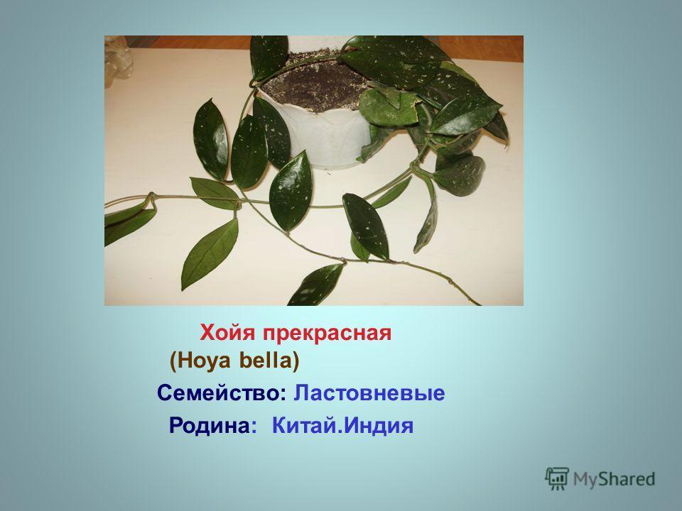 Хойя прекрасная (Hoya bella) Семейство: Ластовневые Родина: Китай.Индия