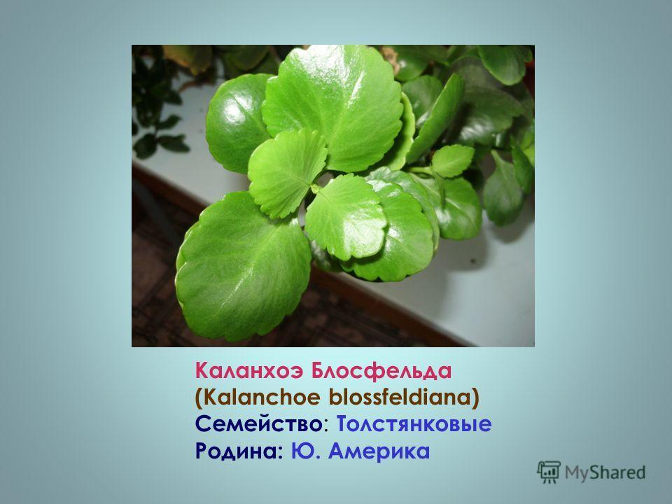 Каланхоэ Блосфельда (Kalanchoe blossfeldiana) Семейство : Толстянковые Родина: Ю. Америка