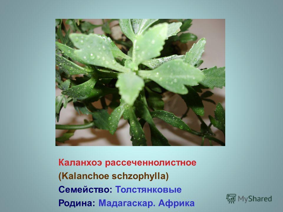 Каланхоэ рассеченнолистное (Kalanchoe schzophylla) Семейство: Толстянковые Родина: Мадагаскар. Африка