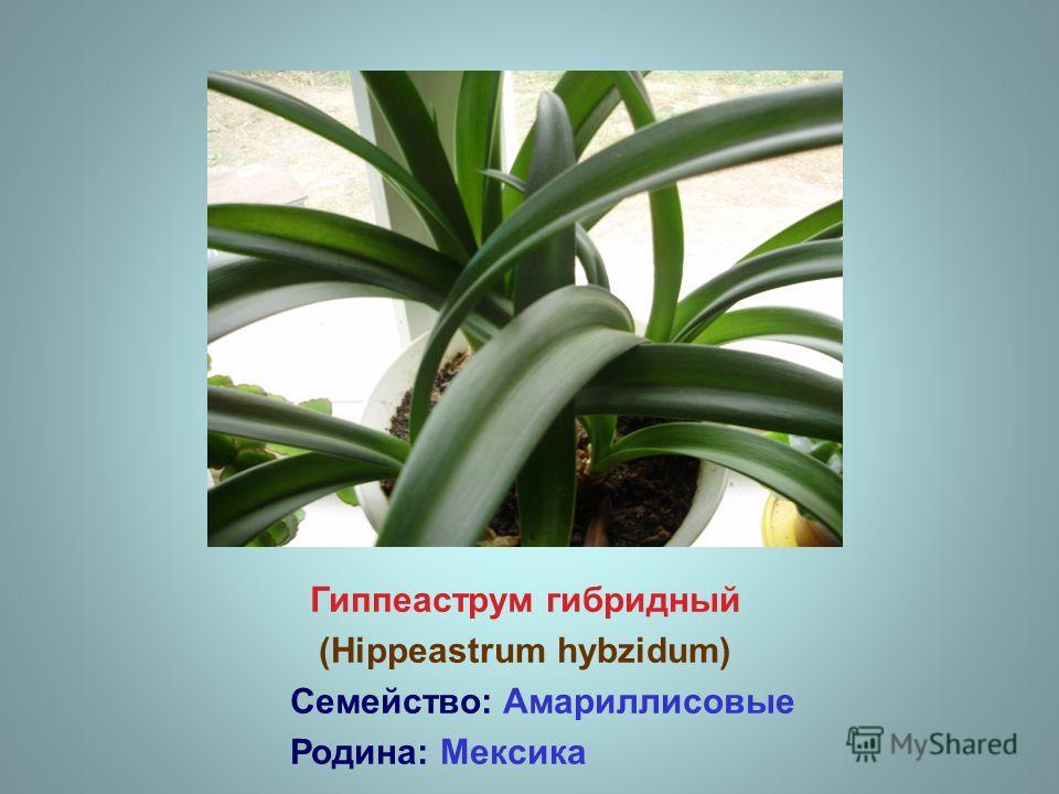Гиппеаструм гибридный (Hippeastrum hybzidum) Семейство: Амариллисовые Родина: Мексика