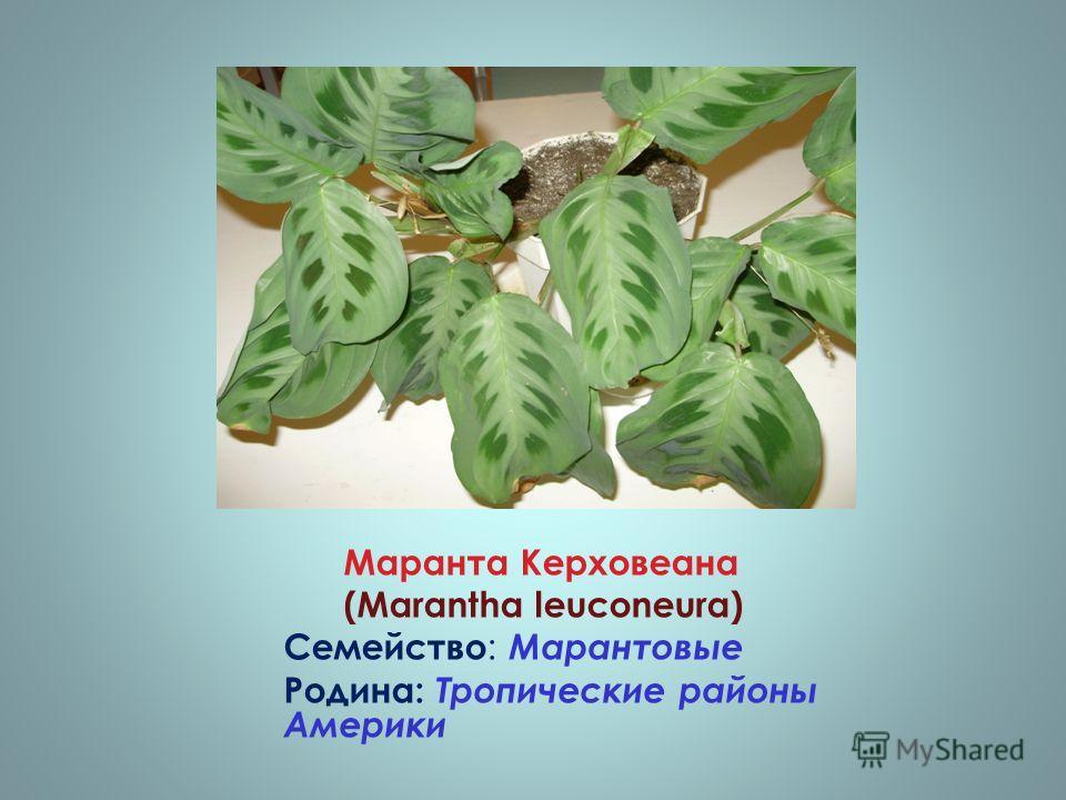 Маранта Керховеана (Marantha leuconeura) Семейство : Марантовые Родина: Тропические районы Америки