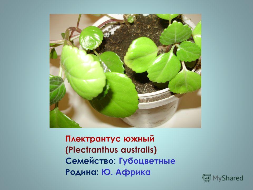 Плектрантус южный (Plectranthus australis) Семейство : Губоцветные Родина: Ю. Африка