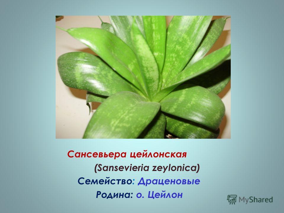 Сансевьера цейлонская (Sansevieria zeylonica) Семейство: Драценовые Родина: о. Цейлон