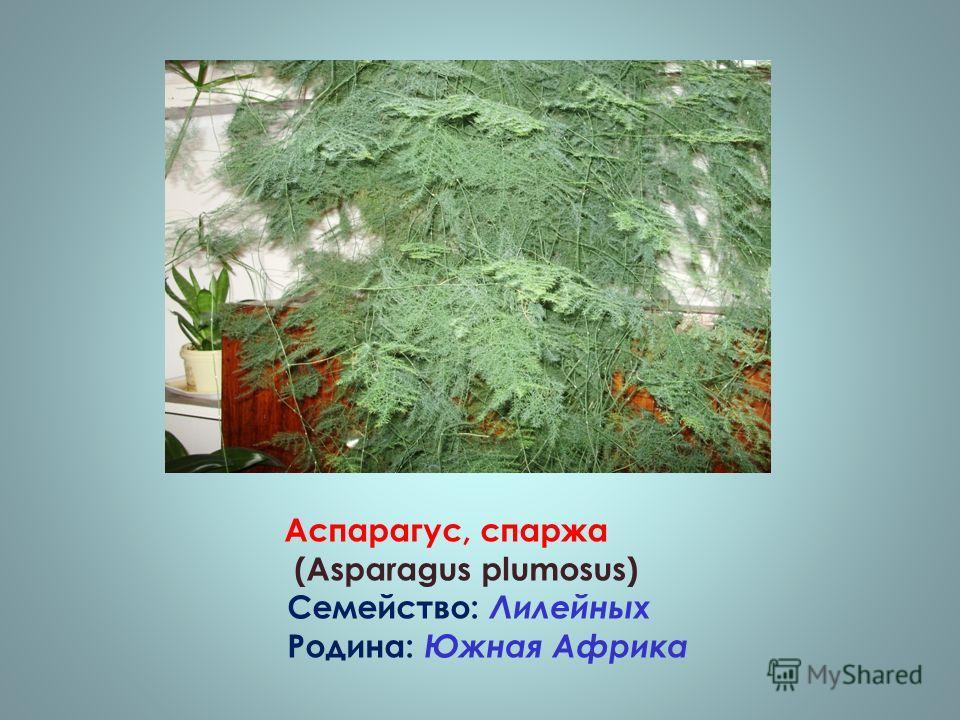 Аспарагус, спаржа (Asparagus plumosus) Семейство: Лилейных Родина: Южная Африка