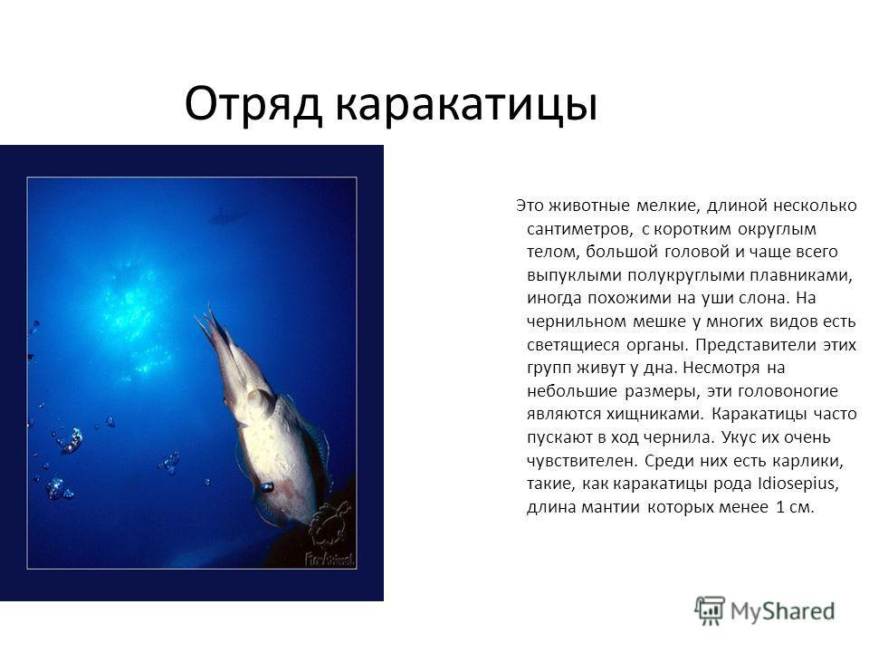 Отряд каракатицы Это животные мелкие, длиной несколько сантиметров, с коротким округлым телом, большой головой и чаще всего выпуклыми полукруглыми плавниками, иногда похожими на уши слона. На чернильном мешке у многих видов есть светящиеся органы. Пр