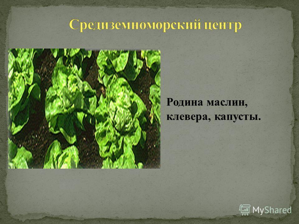 Родина маслин, клевера, капусты.