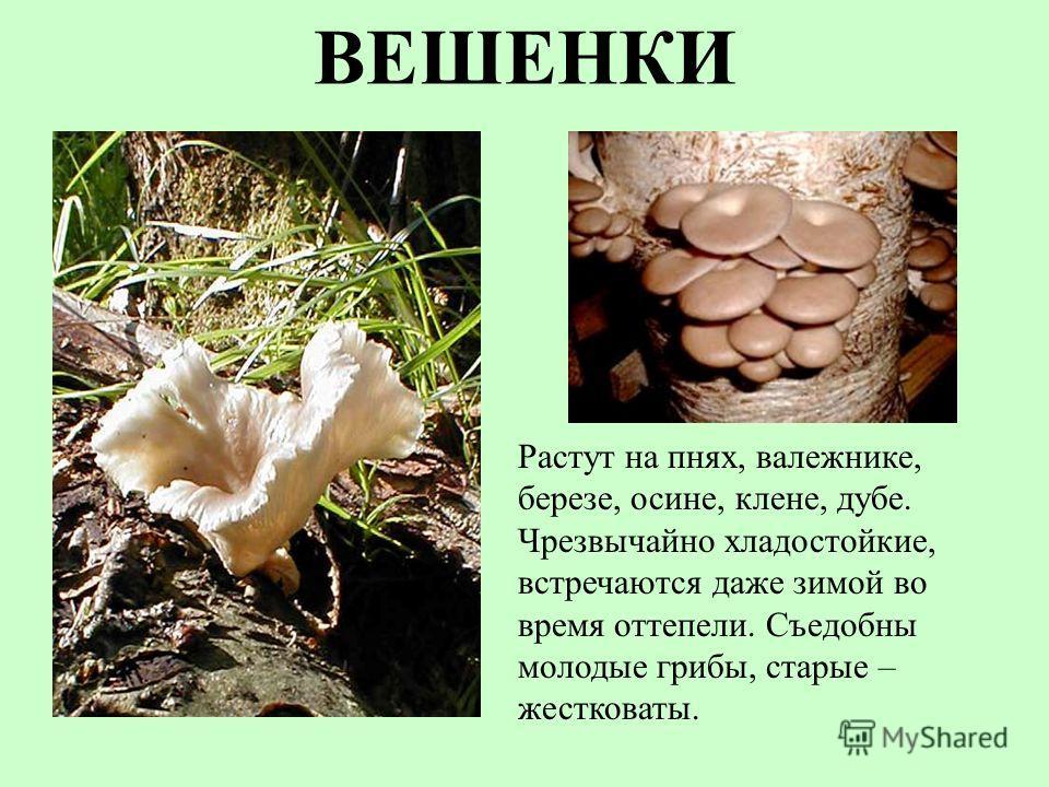 ВЕШЕНКИ Растут на пнях, валежнике, березе, осине, клене, дубе. Чрезвычайно хладостойкие, встречаются даже зимой во время оттепели. Съедобны молодые грибы, старые – жестковаты.