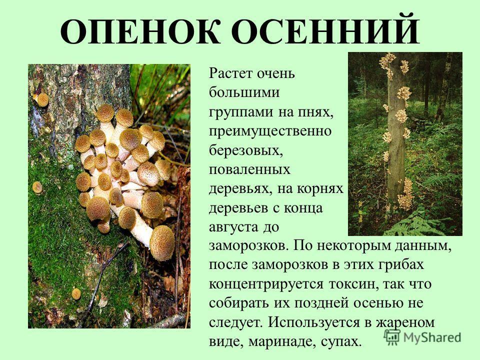 ОПЕНОК ОСЕННИЙ Растет очень большими группами на пнях, преимущественно березовых, поваленных деревьях, на корнях деревьев с конца августа до заморозков. По некоторым данным, после заморозков в этих грибах концентрируется токсин, так что собирать их п