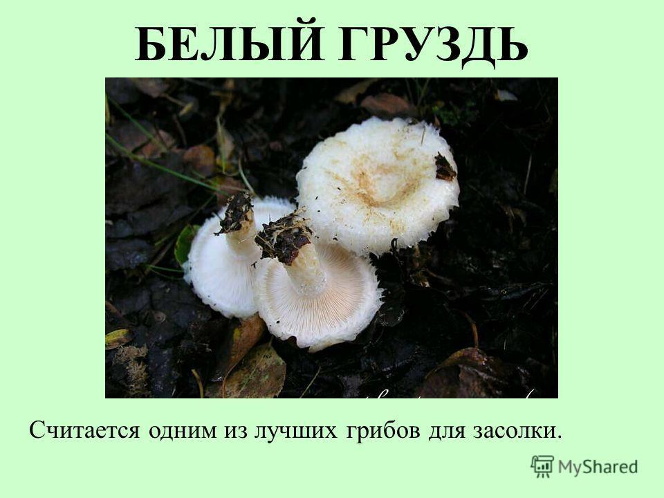 БЕЛЫЙ ГРУЗДЬ Считается одним из лучших грибов для засолки.