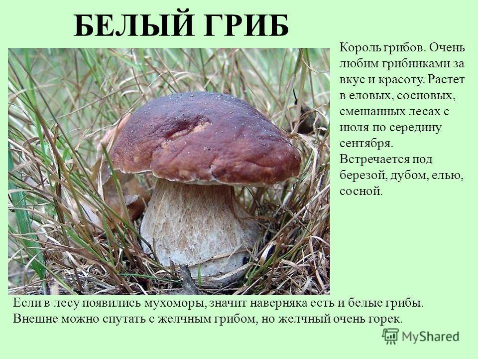 БЕЛЫЙ ГРИБ Если в лесу появились мухоморы, значит наверняка есть и белые грибы. Внешне можно спутать с желчным грибом, но желчный очень горек. Король грибов. Очень любим грибниками за вкус и красоту. Растет в еловых, сосновых, смешанных лесах с июля