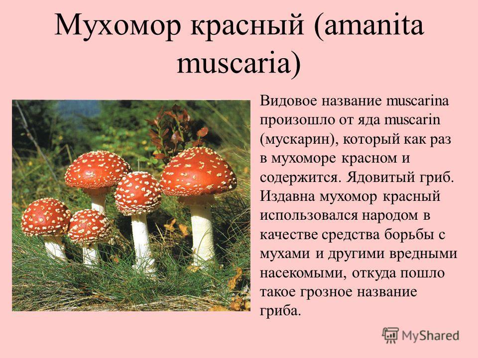 Мухомор красный (amanita muscaria) Видовое название muscarina произошло от яда muscarin (мускарин), который как раз в мухоморе красном и содержится. Ядовитый гриб. Издавна мухомор красный использовался народом в качестве средства борьбы с мухами и др