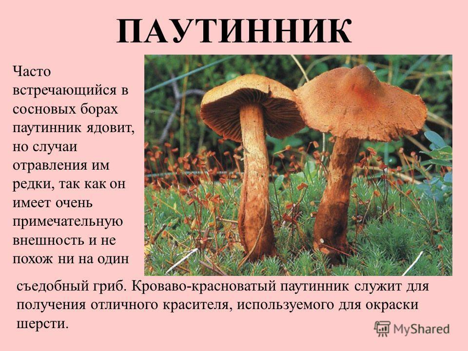 паутинник грибы фото