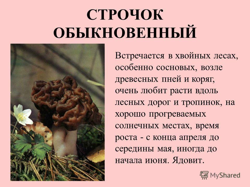 СТРОЧОК ОБЫКНОВЕННЫЙ Встречается в хвойных лесах, особенно сосновых, возле древесных пней и коряг, очень любит расти вдоль лесных дорог и тропинок, на хорошо прогреваемых солнечных местах, время роста - с конца апреля до середины мая, иногда до начал