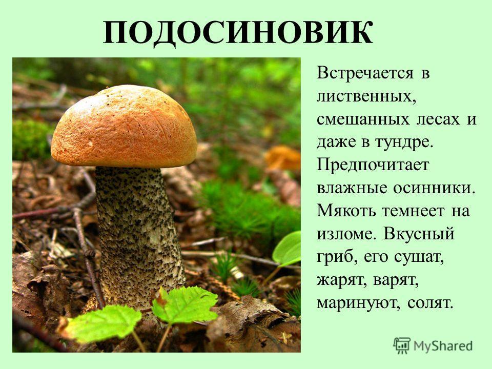 ПОДОСИНОВИК Встречается в лиственных, смешанных лесах и даже в тундре. Предпочитает влажные осинники. Мякоть темнеет на изломе. Вкусный гриб, его сушат, жарят, варят, маринуют, солят.