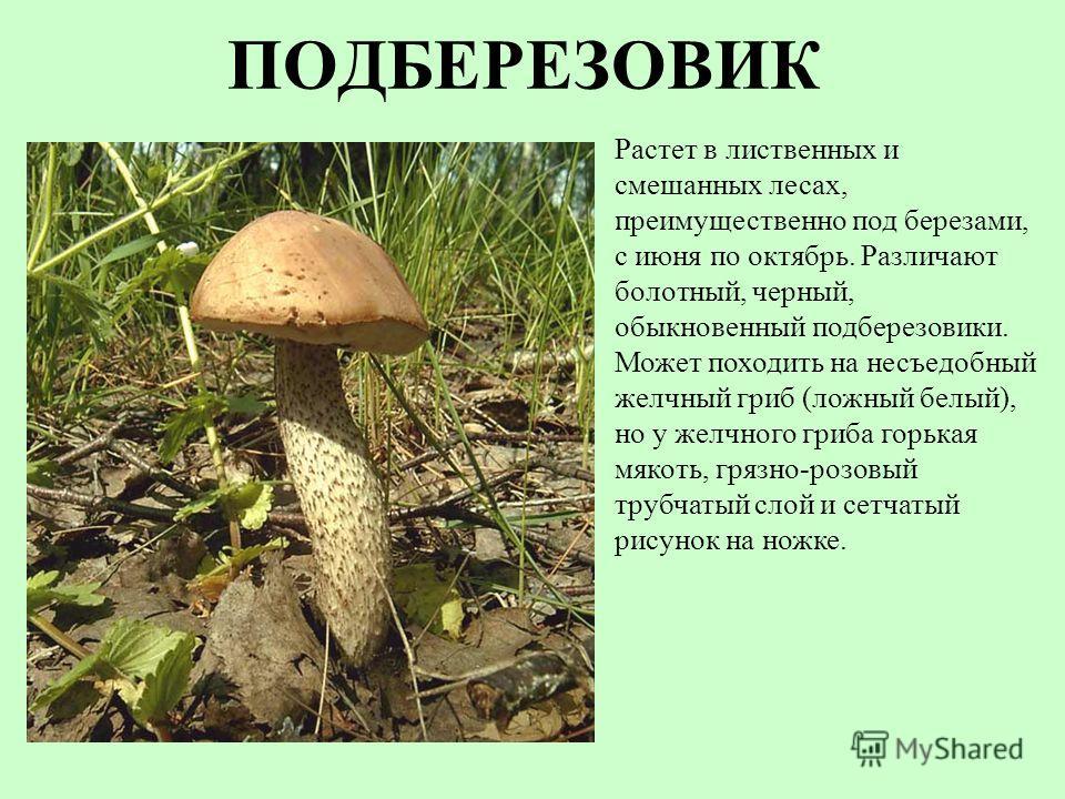 ПОДБЕРЕЗОВИК Растет в лиственных и смешанных лесах, преимущественно под березами, с июня по октябрь. Различают болотный, черный, обыкновенный подберезовики. Может походить на несъедобный желчный гриб (ложный белый), но у желчного гриба горькая мякоть
