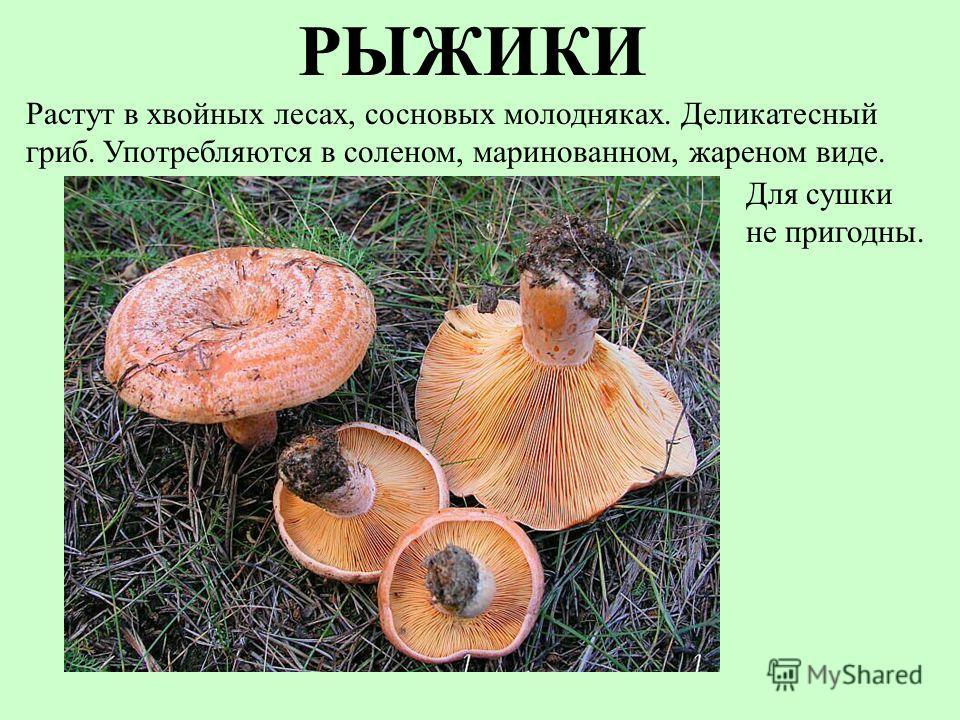 РЫЖИКИ Для сушки не пригодны. Растут в хвойных лесах, сосновых молодняках. Деликатесный гриб. Употребляются в соленом, маринованном, жареном виде.