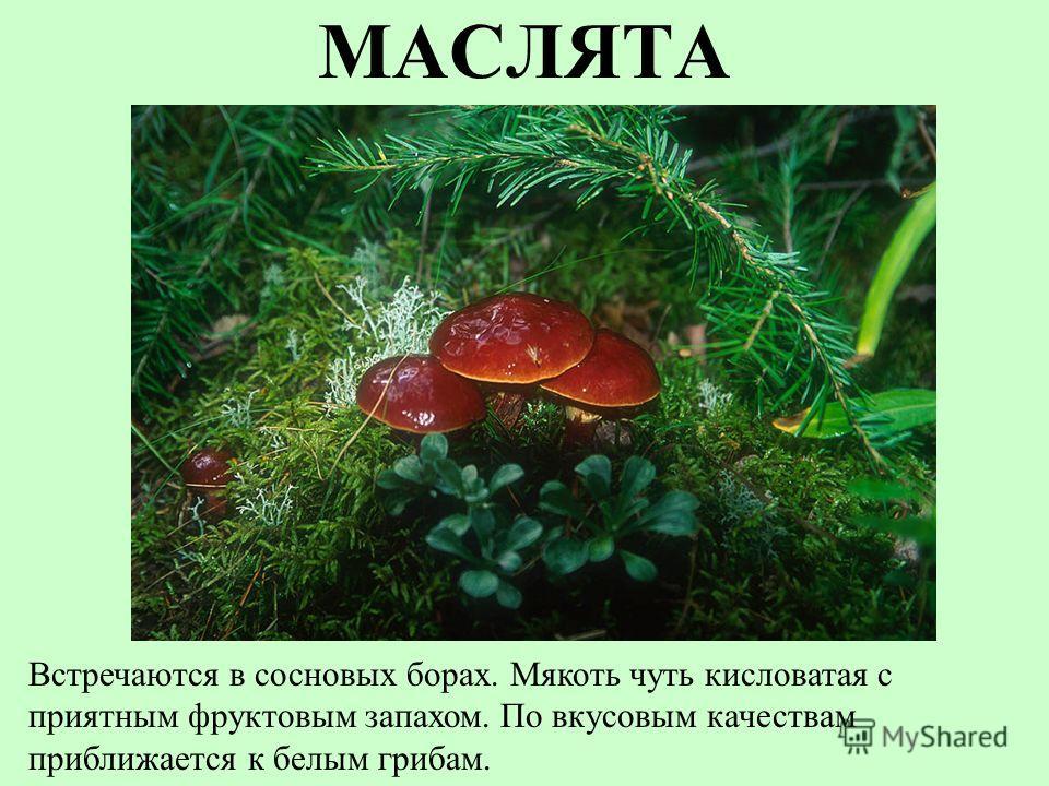 МАСЛЯТА Встречаются в сосновых борах. Мякоть чуть кисловатая с приятным фруктовым запахом. По вкусовым качествам приближается к белым грибам.