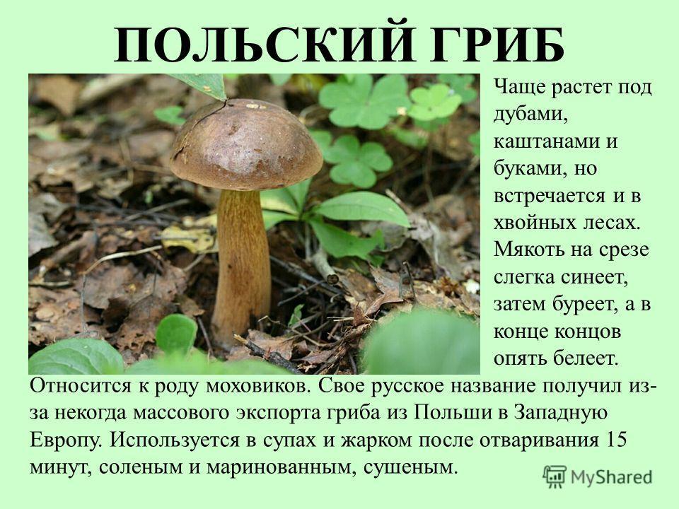 ПОЛЬСКИЙ ГРИБ Относится к роду моховиков. Свое русское название получил из- за некогда массового экспорта гриба из Польши в Западную Европу. Используется в супах и жарком после отваривания 15 минут, соленым и маринованным, сушеным. Чаще растет под ду
